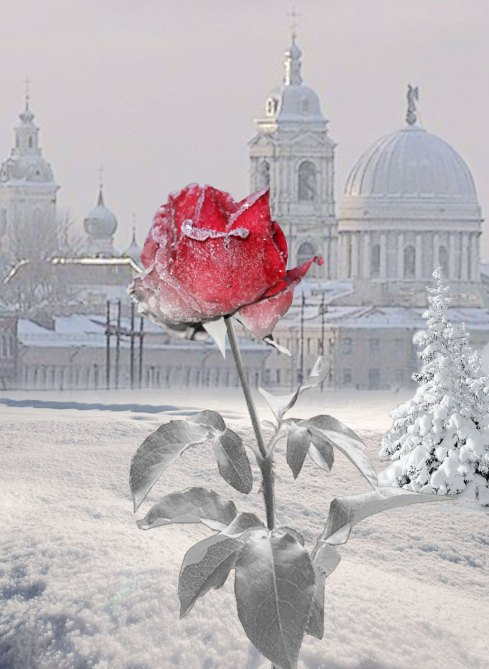 d7690-snow-rose-daydreaming-18458705-1024-1400