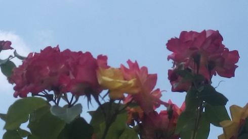 Roses_sky.jpg