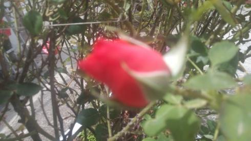 Red_rose.jpg