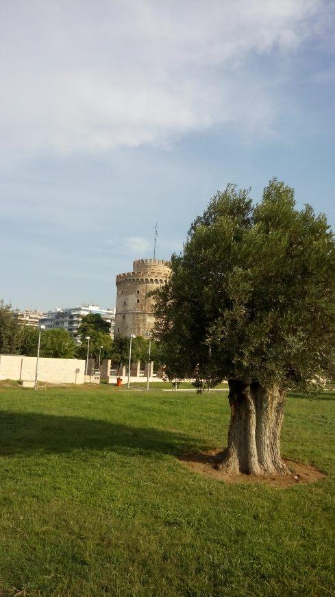 olive_tree_leykos_pyrgos