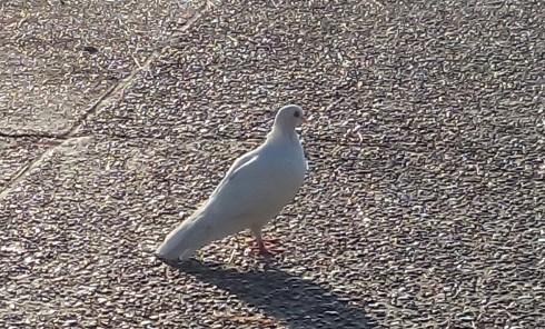white_dove.jpg