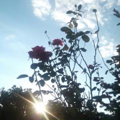 roses_kladia_sky_sun_flower